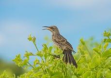 Tordo dos remedos de Galápagos fotografia de stock royalty free
