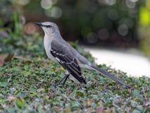 Tordo dos remedos do norte do pássaro de estado de Florida Imagem de Stock