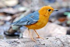 Tordo intestato arancione maschio Immagini Stock Libere da Diritti