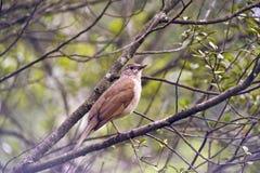Tordo pálido-breasted en el bosque Imagenes de archivo