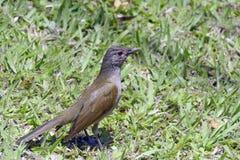 Tordo pálido-breasted en la hierba, cazando el insecto Foto de archivo