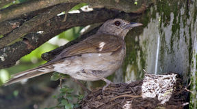 Tordo pálido-breasted no ninho com filhote Fotos de Stock