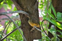 tordo Rufous-inchado, cidade do pássaro Imagem de Stock Royalty Free