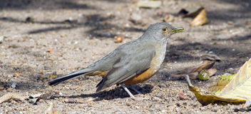 tordo Rufous-inchado, símbolo do pássaro de Brasil Fotos de Stock