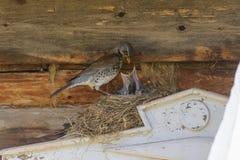 Tordo sui pulcini d'alimentazione del nido Fotografia Stock Libera da Diritti