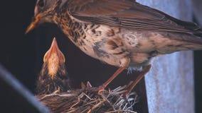 Tordo-zorzal fêmea no ninho vídeos de arquivo