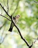 Tordo-zorzal que senta-se em um ramo de árvore na floresta Foto de Stock
