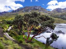 Toreadora lake lagoon and Paper tree or Polylepis at National Park El Cajas, Andean Highlands, Ecuador stock image