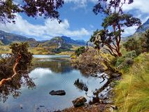 Toreadora lake and Paper trees at National Park El Cajas, Ecuador. Toreadora lake lagoon and Paper trees or Polylepis at National Park El Cajas, Andean Highlands royalty free stock images