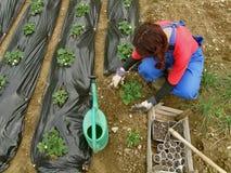 toreb czerń zakrywająca truskawek kobieta Fotografia Royalty Free