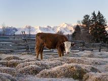 Torello su un pascolo della montagna dietro un recinto di legno contro un fondo della montagna innevata Immagine Stock Libera da Diritti