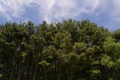 Torenhoge bomen Stock Afbeeldingen