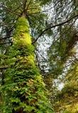 Torenhoge wijnstok behandelde boom die voor hemel bereiken Stock Afbeelding