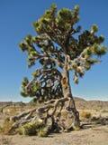 Torenhoog Joshua Tree in Joshua Tree National Park, Californië stock fotografie