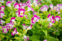 Torenia flower (wishbone) ,  prayer plan flower Royalty Free Stock Photo