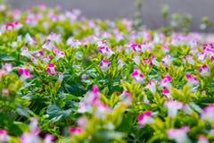 Torenia-fournieri Blumen stockfotos