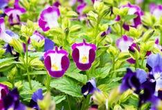 Torenia fournieri flower Royalty Free Stock Image