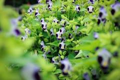 Torenia fournieri Lindl lub Wishbone kwiat kwitnienie w śródpolnych śliwkach Zdjęcie Stock
