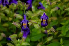 Torenia fournieri (prayer plan) flower Royalty Free Stock Images