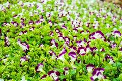 Torenia-fournieri purpurrote weiße Blume und gelbes Blütenstaubblühen Stockfotos