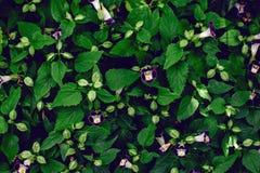 torenia violeta roxo dos bluewings da flor do ossinho da sorte com folhas verdes Foto de Stock