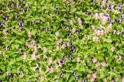 Torenia of Vorkbeenbloemen Stock Afbeeldingen