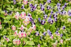 Torenia of Vorkbeenbloemen Stock Fotografie