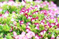 Torenia, Wishbone-Blume stockbilder