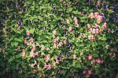 Torenia or Wishbone flowers vintage Royalty Free Stock Images