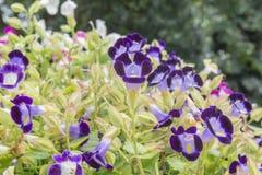 Torennia Flower. Royalty Free Stock Images