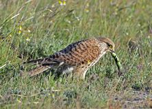 Torenvalk, Common Kestrel, Falco tinnunculus stock image