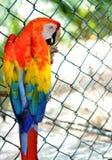 Torenvalk (Falco-sparverius) Stock Foto