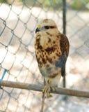 Torenvalk (Falco-sparverius) Stock Foto's
