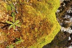 Torfgranulat und arktische Alpenpflanzen, Mt Wolljacke, New Hampshire Lizenzfreies Stockfoto