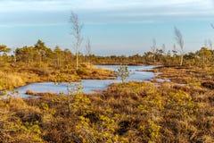 Torfmoorlandschaft mit Herbst färbte Flora von großem Sumpfsumpfgebiet Kemeri in Nationalpark Kemeri, Lettland, Nordeuropa lizenzfreies stockbild