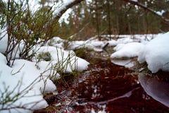Torfowiskowy bagno, czerwona woda, przegięty bagażnik, śnieg i czarna jagoda, fotografia stock