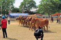 Tori decorati alla corsa del toro del Madura, Indonesia Immagini Stock Libere da Diritti