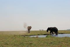 Tori dell'elefante che escono il fiume di Chobe Immagini Stock Libere da Diritti