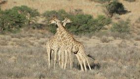 Tori della giraffa di combattimento stock footage