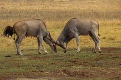 Tori di eland che chiudono i corni a chiave Fotografia Stock Libera da Diritti