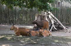 Tori e mucche nello zoo di Dresda Germania immagini stock