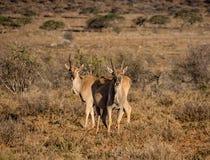 Tori giovanili di eland Fotografia Stock Libera da Diritti