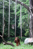 Tori , one orangutan collection Taru Jurug Animal Park Solo. Was holding her newly born child . Tori child birth increase the collection of orangutans at the royalty free stock photos