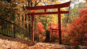 Torii in the autumn forest. stock video footage