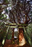 Torii and the big tree of the shrine Royalty Free Stock Images