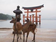 Torii port och hjortar i havet Royaltyfri Fotografi