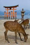 Torii portar och två hjortar i Japan Arkivbilder
