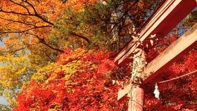 Torii y hojas de otoño almacen de video