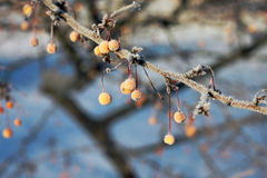 Toringo crab apple fruits in winter Stock Photography