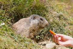 Torist feeds groundhog Stock Images